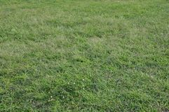 Gräs och bakgrund för vita blommor arkivfoton