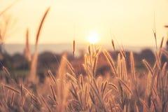 Gräs och solnedgångbakgrund Royaltyfri Foto