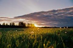 Gräs och vita blommor på solnedgången Fotografering för Bildbyråer