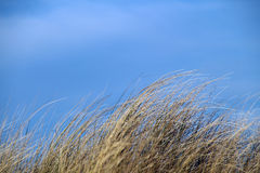 Gräs på en dyn framme av blå himmel Arkivbild
