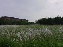Gräs på en högskolauniversitetsområde arkivbilder