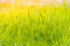 Gräs på fältet under soluppgång som är passande för att skriva ord eller bak platserna royaltyfri fotografi