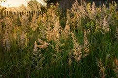 Gräs på gryning Arkivfoto