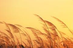 Gräs på solnedgång. royaltyfria bilder