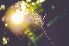 Gräs på solnedgång Fotografering för Bildbyråer