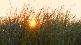 Gräs på solnedgången långsam rörelse close upp stock video