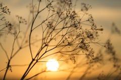 Gräs på solnedgången mot solen royaltyfria foton