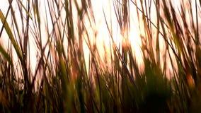 Gräs på solnedgången skjuten solnedgång för maccro äng arkivfilmer
