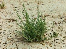 Gräs på torrt smutsslut upp Fotografering för Bildbyråer
