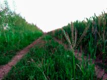 Gräs på vägen mellan veteåkrar arkivfoton