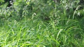 Gräs på vinden lager videofilmer