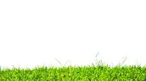 Gräs på vit bakgrund. Arkivbild