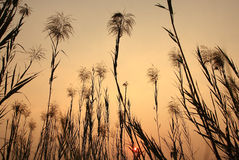 gräs pampas Royaltyfri Bild