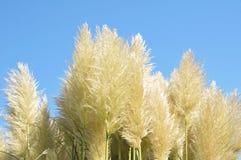 gräs pampas Arkivfoto