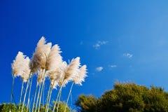 gräs pampas Fotografering för Bildbyråer