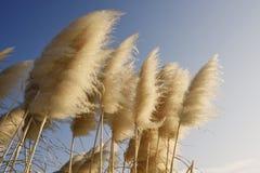 gräs pampas Arkivfoton