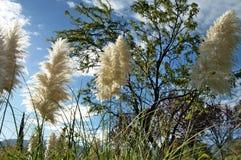 gräs pampas Arkivbilder