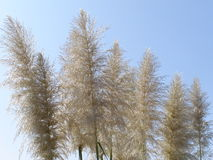 gräs pampas Royaltyfri Foto