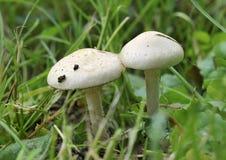 gräs plocka svamp två Arkivbilder