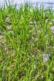 Gräs simmade Royaltyfri Foto