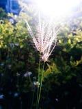 Gräs- solstrimmaljus Royaltyfri Fotografi