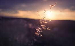 Gräs som är framstående bland den flammande solen Royaltyfri Fotografi