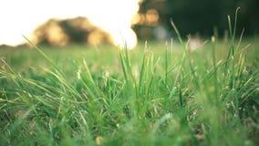 Gräs som är nära upp på solnedgång lager videofilmer