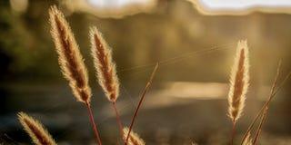 Gräs som glöder i morgonsolen Arkivfoton