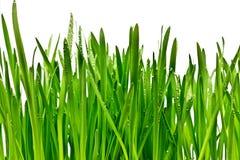 Gräs som isoleras på vit bakgrund Arkivbild