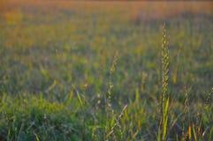 Gräs som markeras av aftonsolen arkivbild