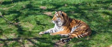 gräs som ser den vilande tigern Fotografering för Bildbyråer