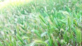 gräs sommarwind lager videofilmer