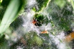 Gräs spindlar av släktet Agelenopsis från Agelenidae spindelfa Royaltyfria Bilder