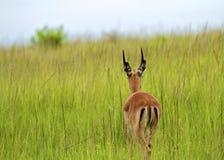 gräs springboken royaltyfri fotografi