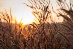 Gräs under solnedgång royaltyfria foton