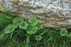 Gräs under stenen Royaltyfri Fotografi