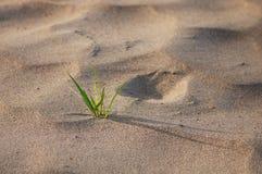 Gräs växer upp från sand royaltyfria bilder
