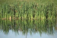 gräs wild reflekterat vatten Royaltyfri Fotografi