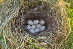 Gräsand bygga bo, kopplingen av nio vita ägg Arkivbild