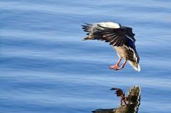 Gräsand Duck Coming in för en landning på det blåa vattnet Royaltyfri Fotografi