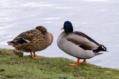 Gräsand Duck Couple Arkivfoton