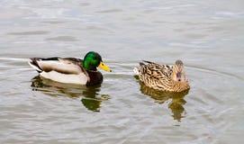Gräsand Duck Couple Royaltyfri Fotografi
