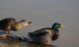 Gräsand Duck Couple royaltyfria foton