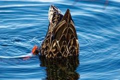Gräsand Duck Dabbling Royaltyfri Bild