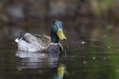 Gräsand Duck Drake Arkivbild