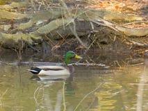 Gräsand Duck Drake arkivfoto
