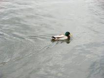 Gräsand Duck Drake Royaltyfri Foto