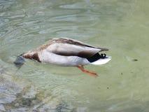 Gräsand Duck Drake Fotografering för Bildbyråer