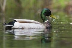 Gräsand Duck Drake Dabbing Arkivbild