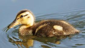 Gräsand Duck Duckling - Anasplatyrhynchos Fotografering för Bildbyråer